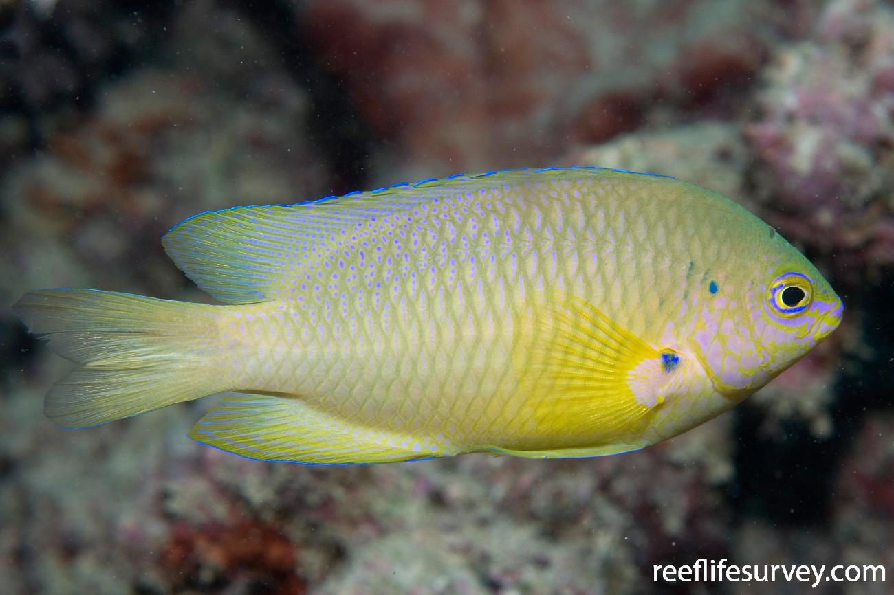 Pomacentrus amboinensis, Adult, Great Barrier Reef, Cairns, QLD,  Photo: Andrew Green