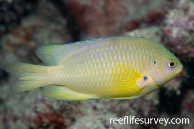 Pomacentrus amboinensis: Adult, Great Barrier Reef, Cairns, QLD,  Photo: Andrew Green