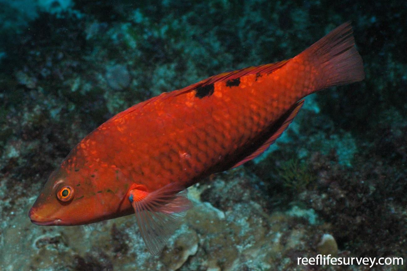 Pseudolabrus luculentus, Lord Howe Island, NSW,  Photo: Graham Edgar
