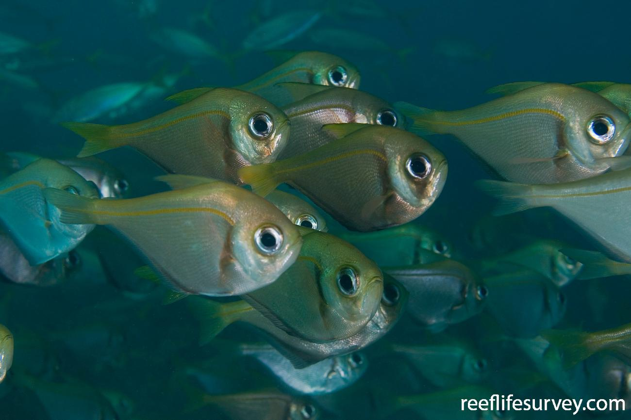 Pempheris compressa, Batemans Bay, NSW,  Photo: Andrew Green