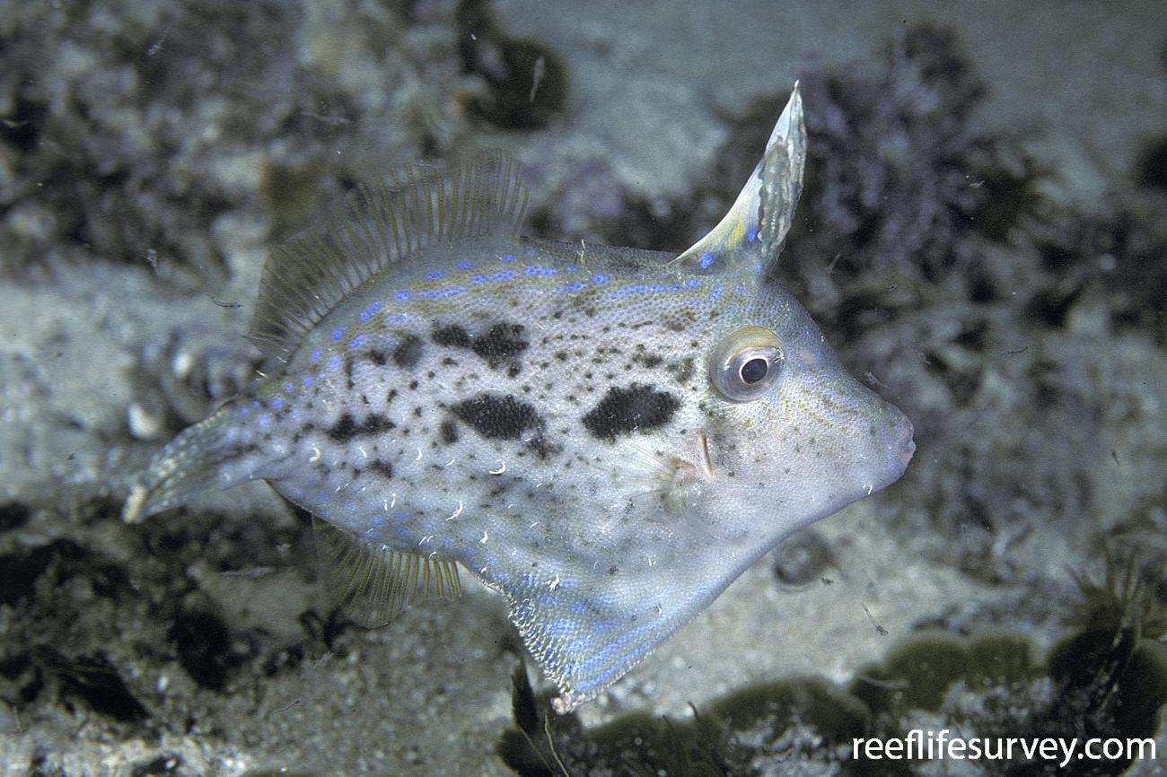 Scobinichthys granulatus, Ulladulla, NSW,  Photo: Andrew Green