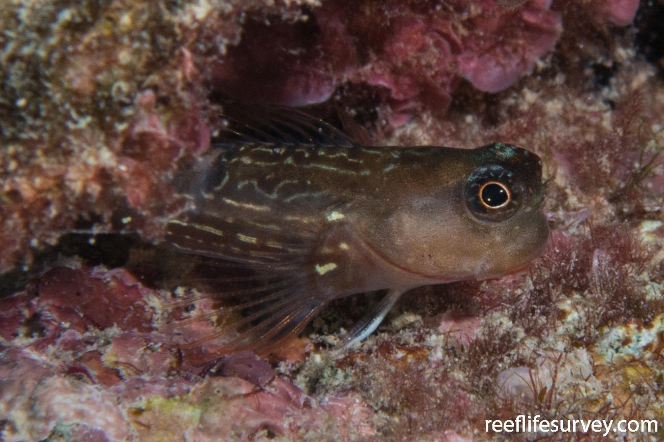 Ecsenius oculatus, Ningaloo Reef, Australia,  Photo: Rick Stuart-Smith