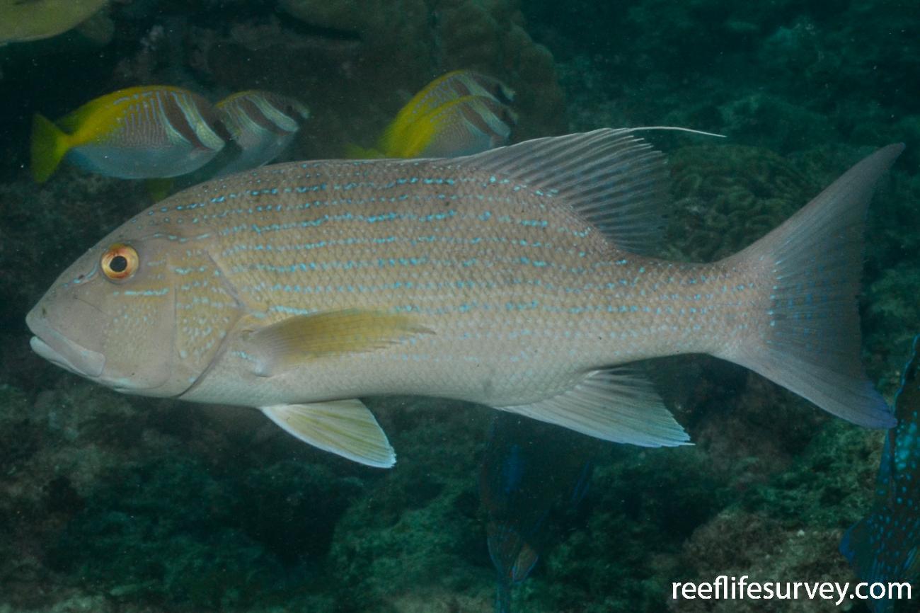 Symphorus nematophorus, Adult, WA, Australia,  Photo: Graham Edgar