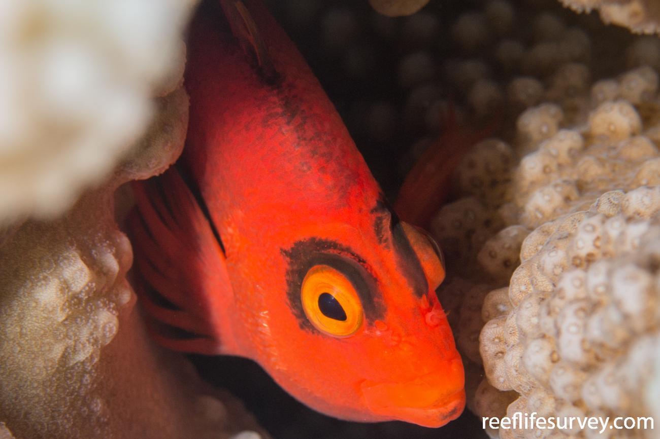 Neocirrhites armatus,  Photo: Rick Stuart-Smith