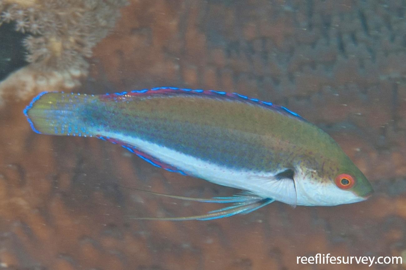 Cirrhilabrus punctatus, Male, NSW, Australia,  Photo: Ian Shaw