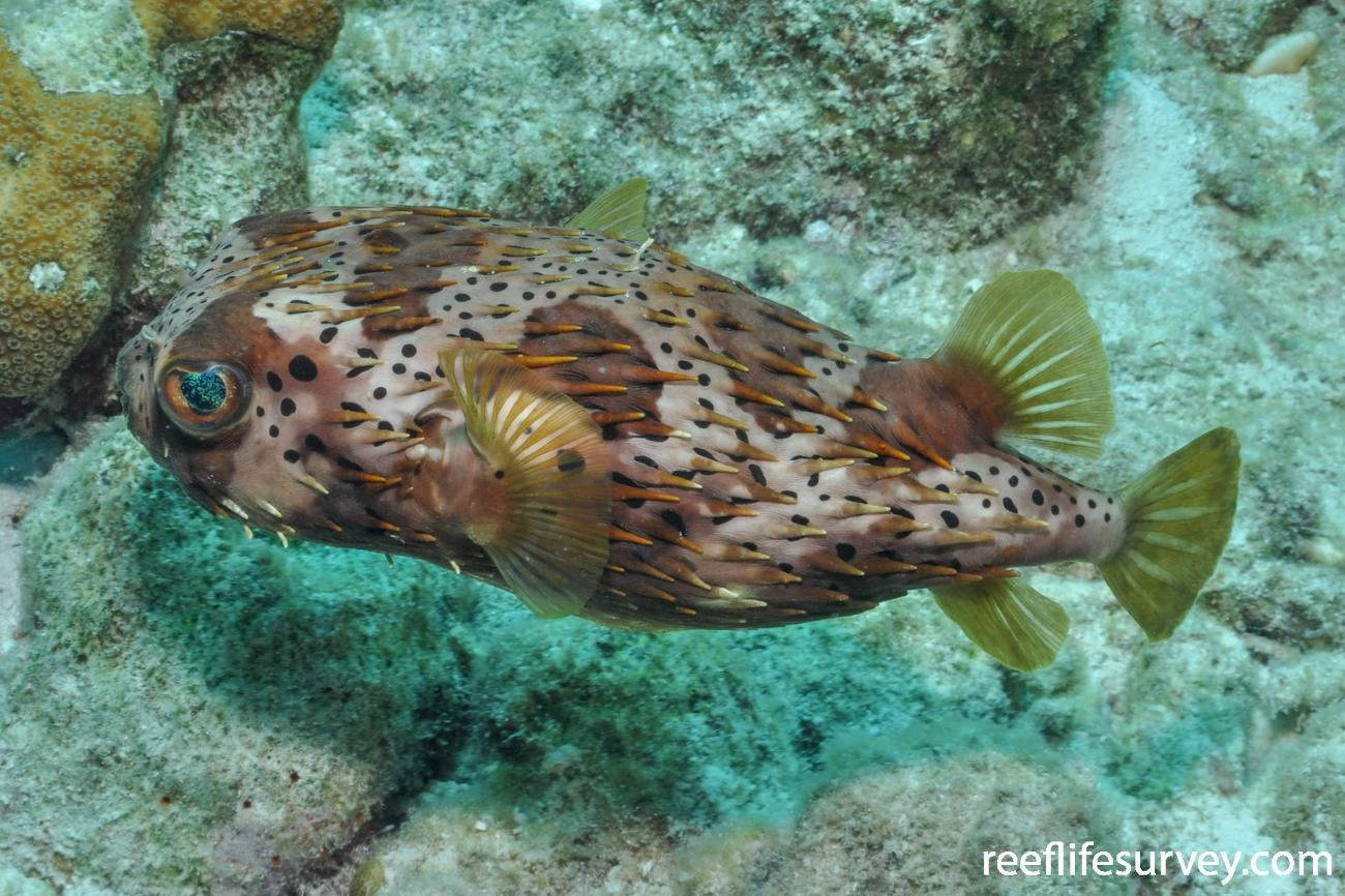 Diodon holocanthus, Bonaire,  Photo: Rick Stuart-Smith