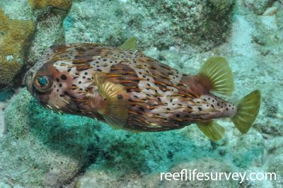 Diodon holocanthus: Bonaire,  Photo: Rick Stuart-Smith