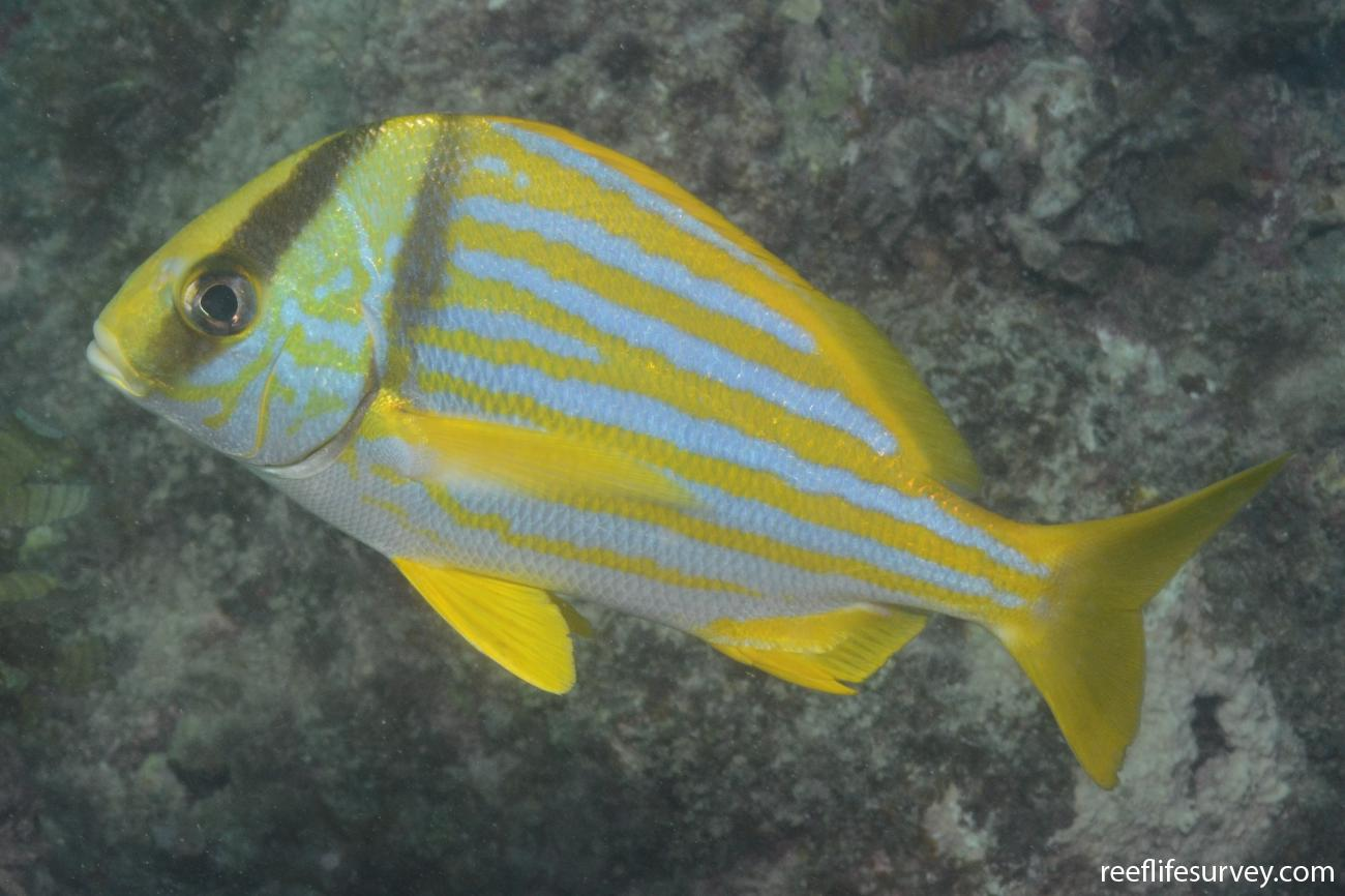 Anisotremus virginicus, Abrolhos, Bahia, Brazil,  Photo: Graham Edgar
