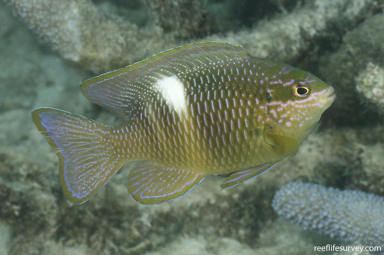 Dischistodus pseudochrysopoecilus, Adult, Coral Sea, Australia,  Photo: Ian Shaw