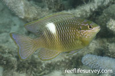 Dischistodus pseudochrysopoecilus: Adult, Coral Sea, Australia,  Photo: Ian Shaw