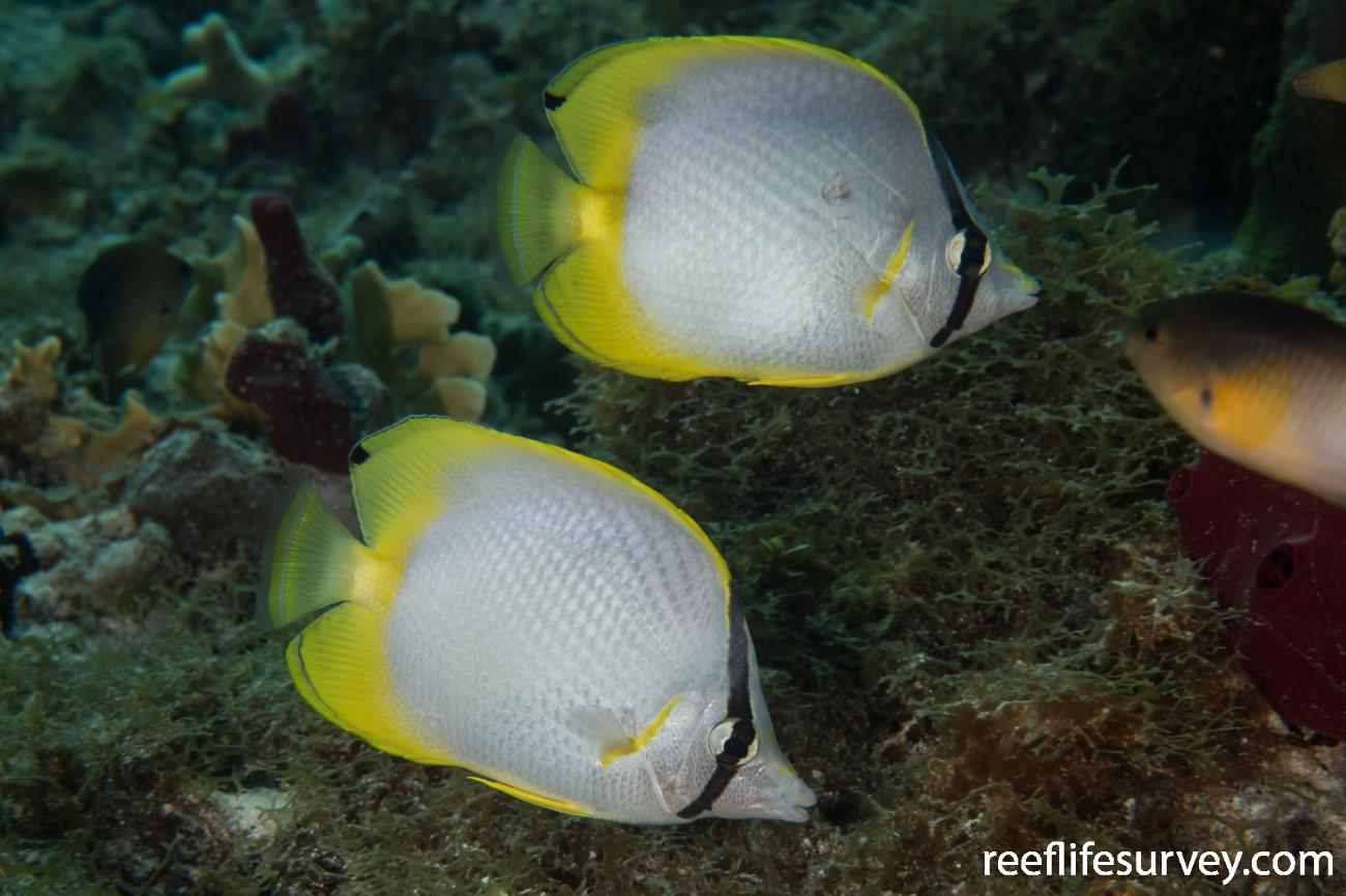Chaetodon ocellatus, Belize,  Photo: Rick Stuart-Smith