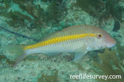 Parupeneus chrysopleuron: Ningaloo Reef, WA,  Photo: Rick Stuart-Smith