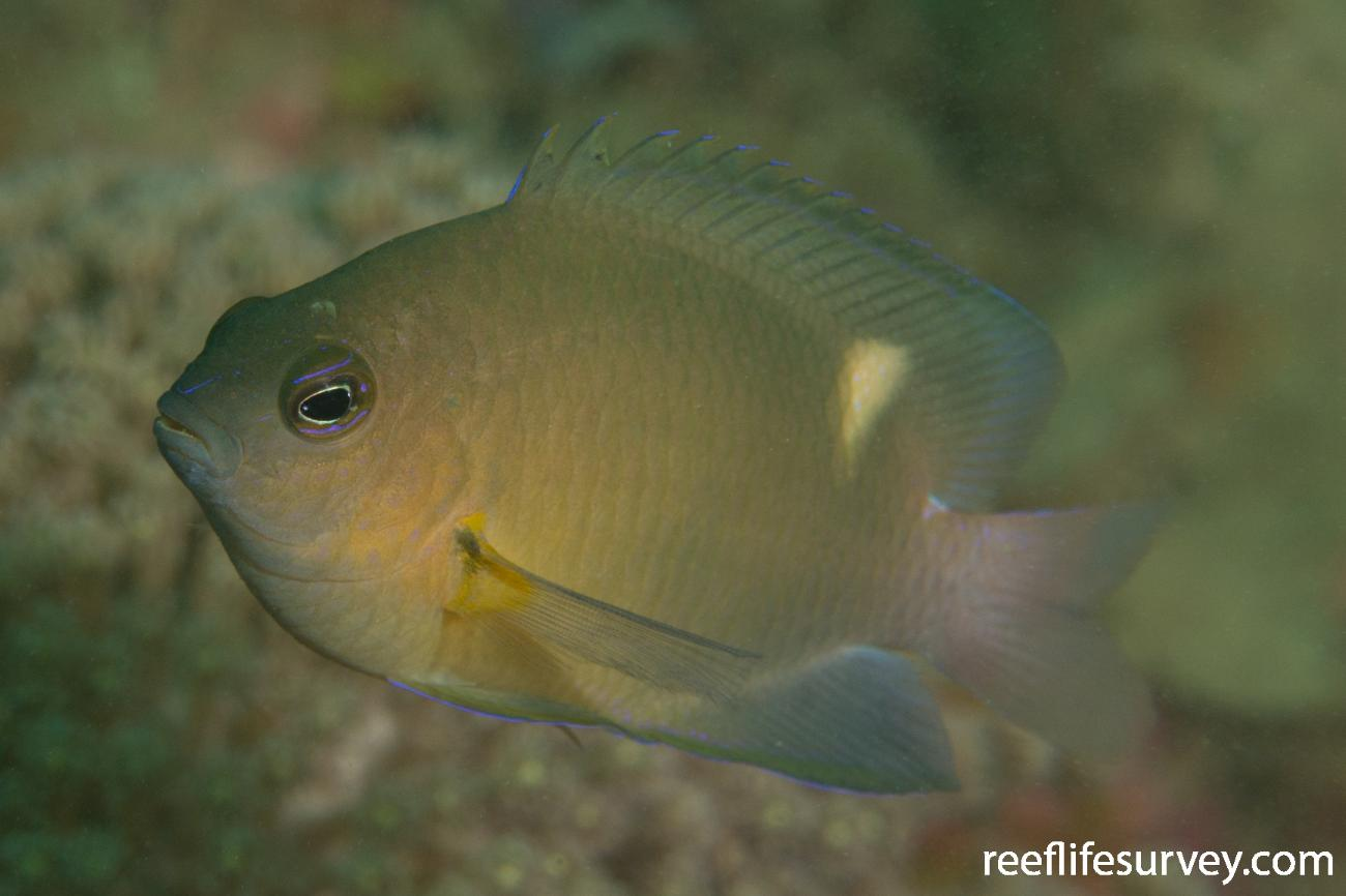 Pomacentrus opisthostigma, Raja Ampat, Indonesia,  Photo: Rick Stuart-Smith