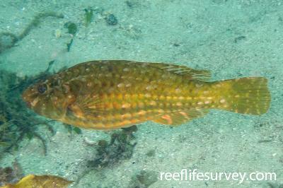 Leptoscarus vaigiensis: Female, NSW, Australia,  Photo: Odd Kristensen