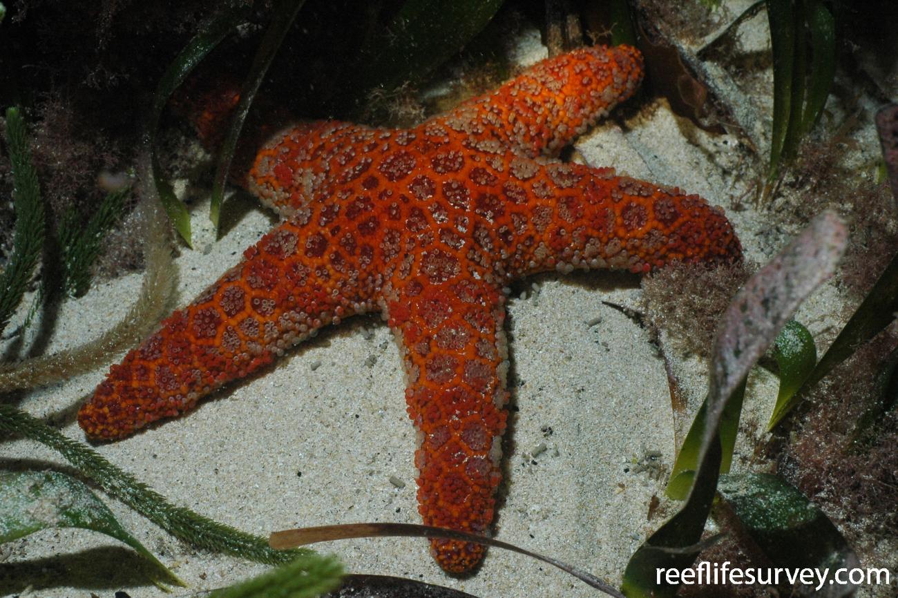 Plectaster decanus, Bass Strait, TAS,  Photo: Graham Edgar