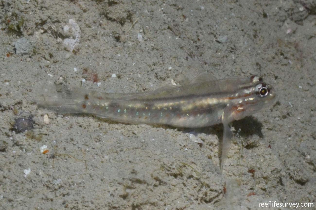 Coryphopterus glaucofraenum, Abrolhos, Bahia, Brazil,  Photo: Graham Edgar
