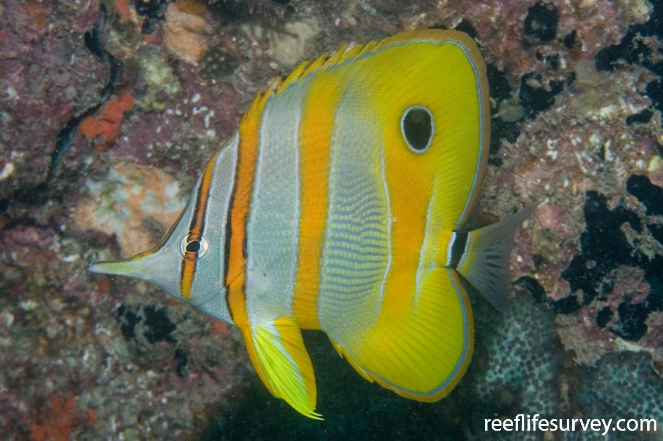 Chelmon rostratus, Adult, Great Keppel Is, Qld,  Photo: Andrew Green