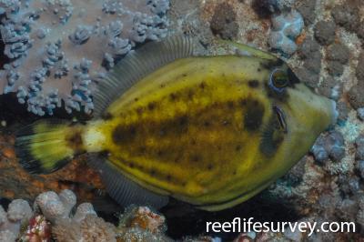 Cantherhines fronticinctus: Adult.  Photo: Rick Stuart-Smith