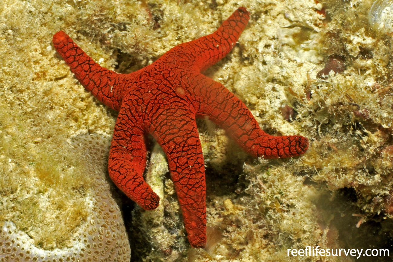 Fromia indica, Lizard Island, Great Barrier Reef, Australia,  Photo: Graham Edgar