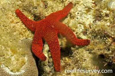 Fromia indica: Lizard Island, Great Barrier Reef, Australia,  Photo: Graham Edgar