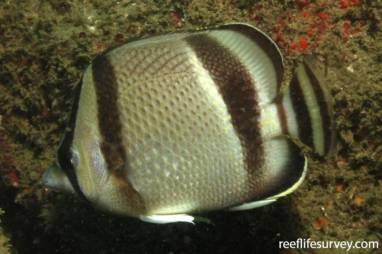 Chaetodon humeralis, Machalilla, Ecuador,  Photo: Graham Edgar