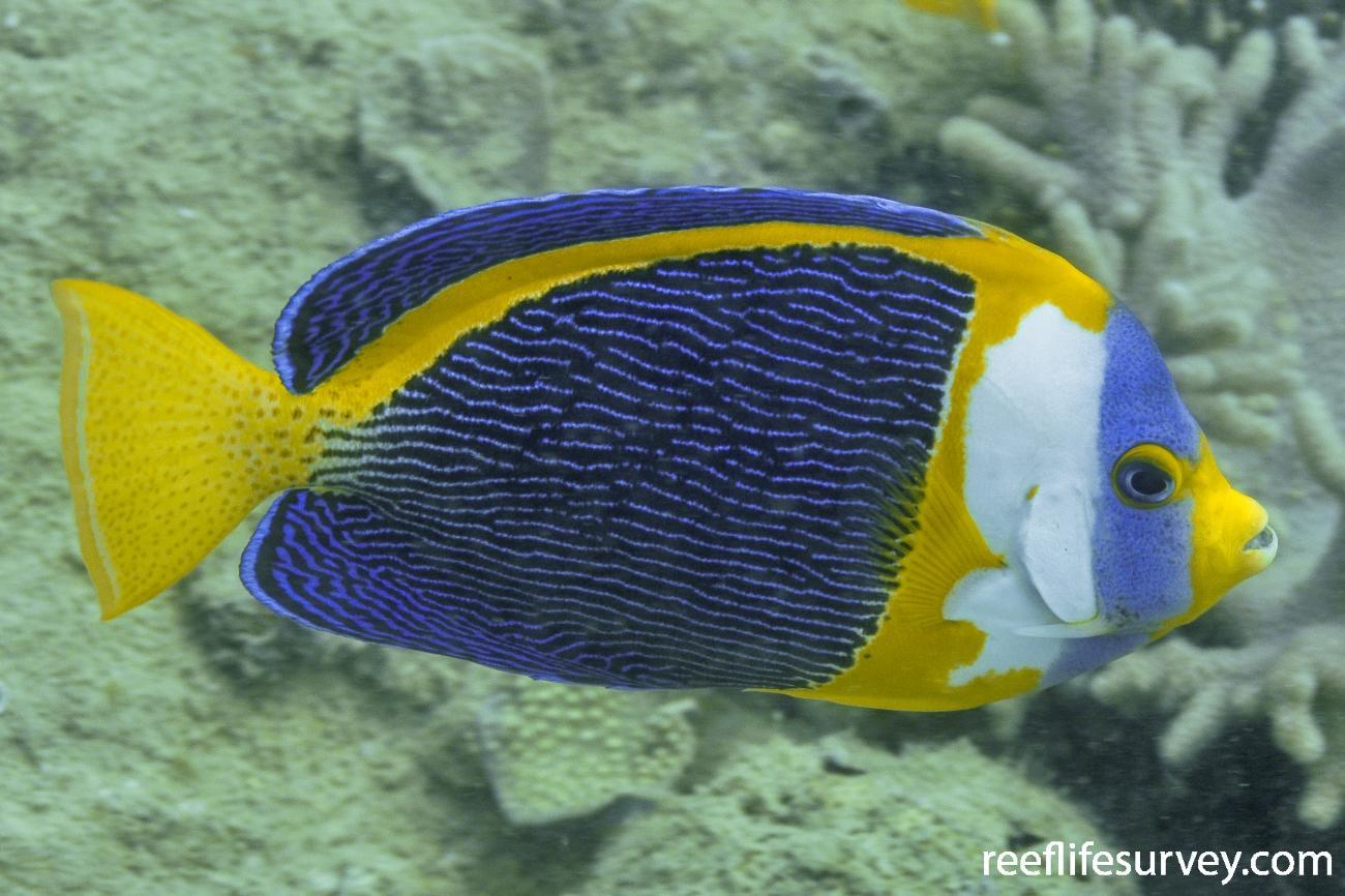 Chaetodontoplus duboulayi, Adult.  Photo: Rick Stuart-Smith