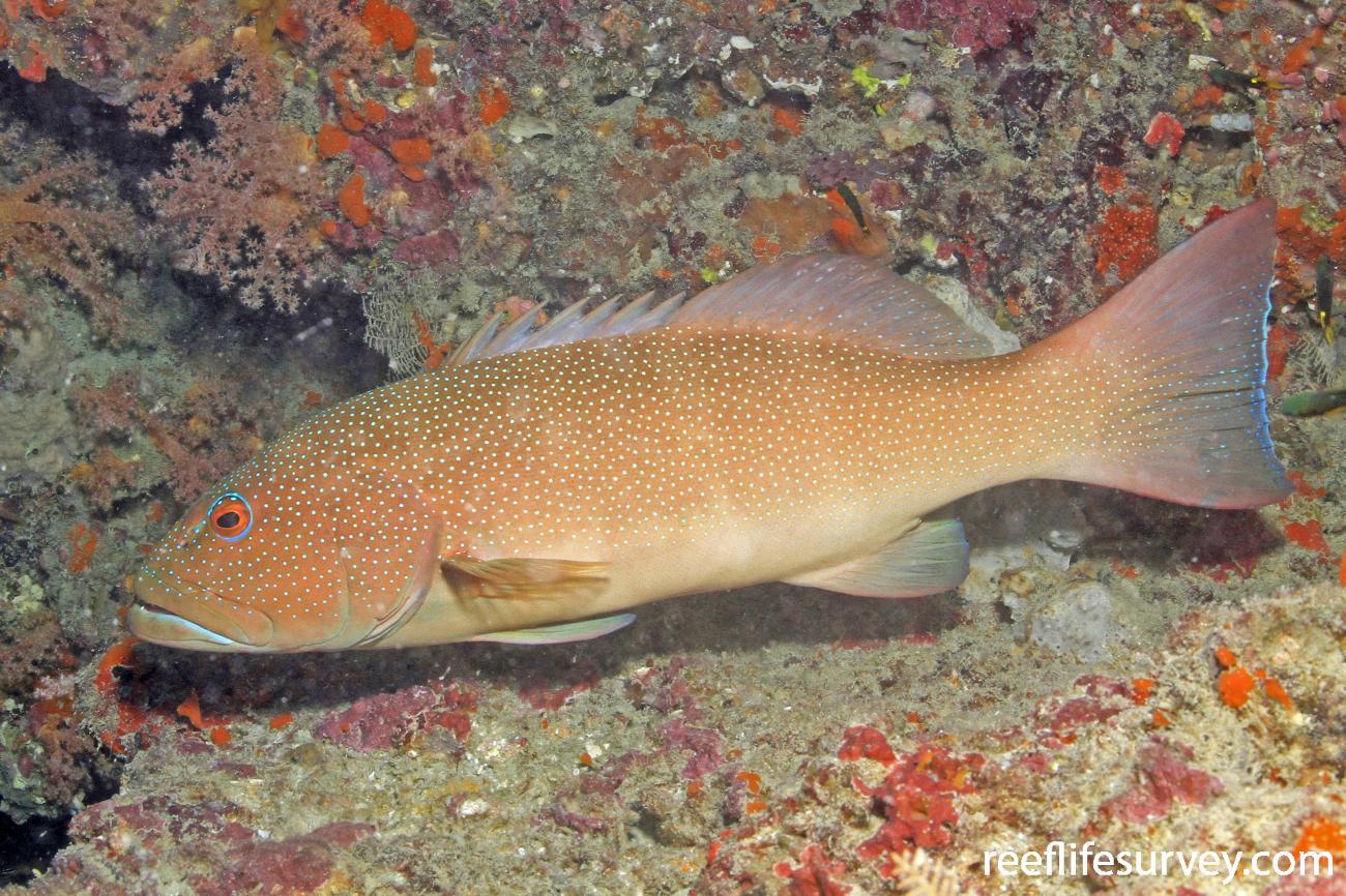 Plectropomus leopardus, Great Barrier Reef,  Photo: Graham Edgar