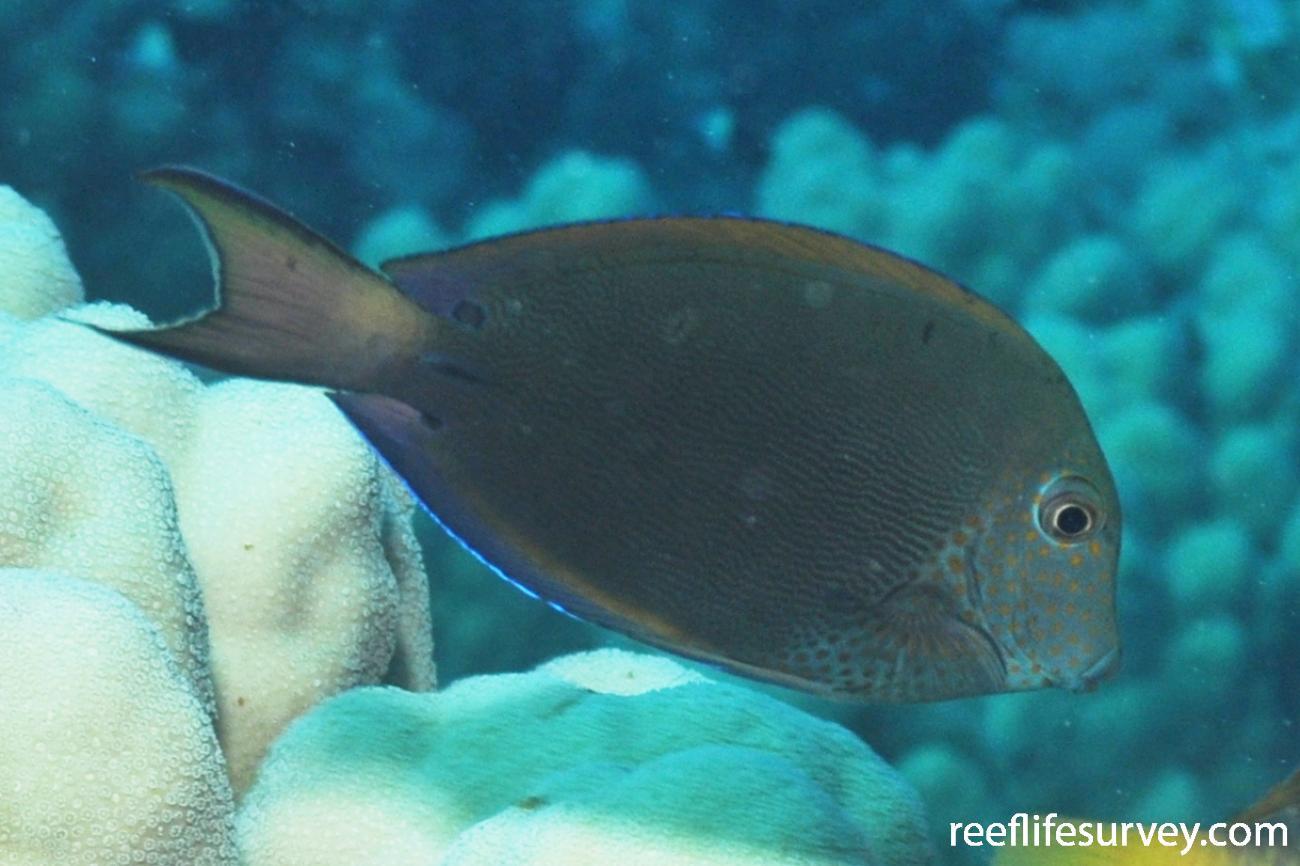 Acanthurus nigrofuscus, Red Sea,  Photo: Rick Stuart-Smith