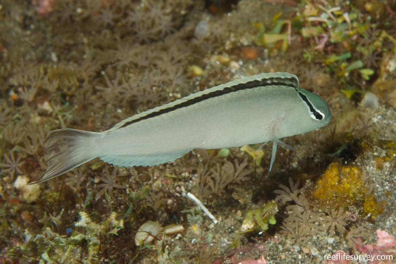 Meiacanthus smithi, Adult, Bali, Tulamben,  Photo: Ian Shaw