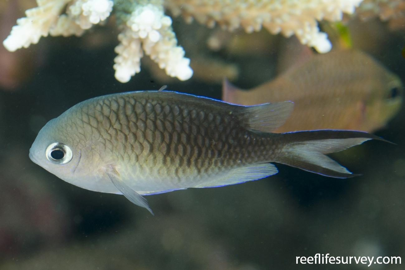 Chromis ternatensis, Adult, Bali, Indonesia,  Photo: Ian Shaw