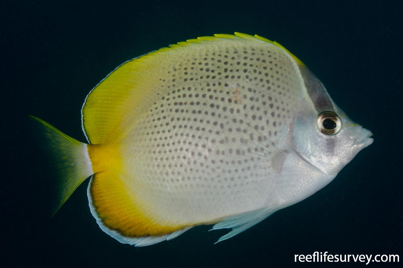Chaetodon guentheri, Adult, NSW, Australia,  Photo: Ian Shaw