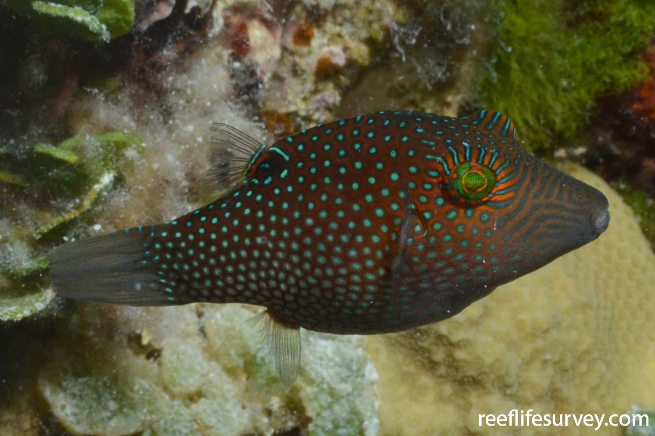 Canthigaster janthinoptera, Adult, Minerva Reefs, Tonga,