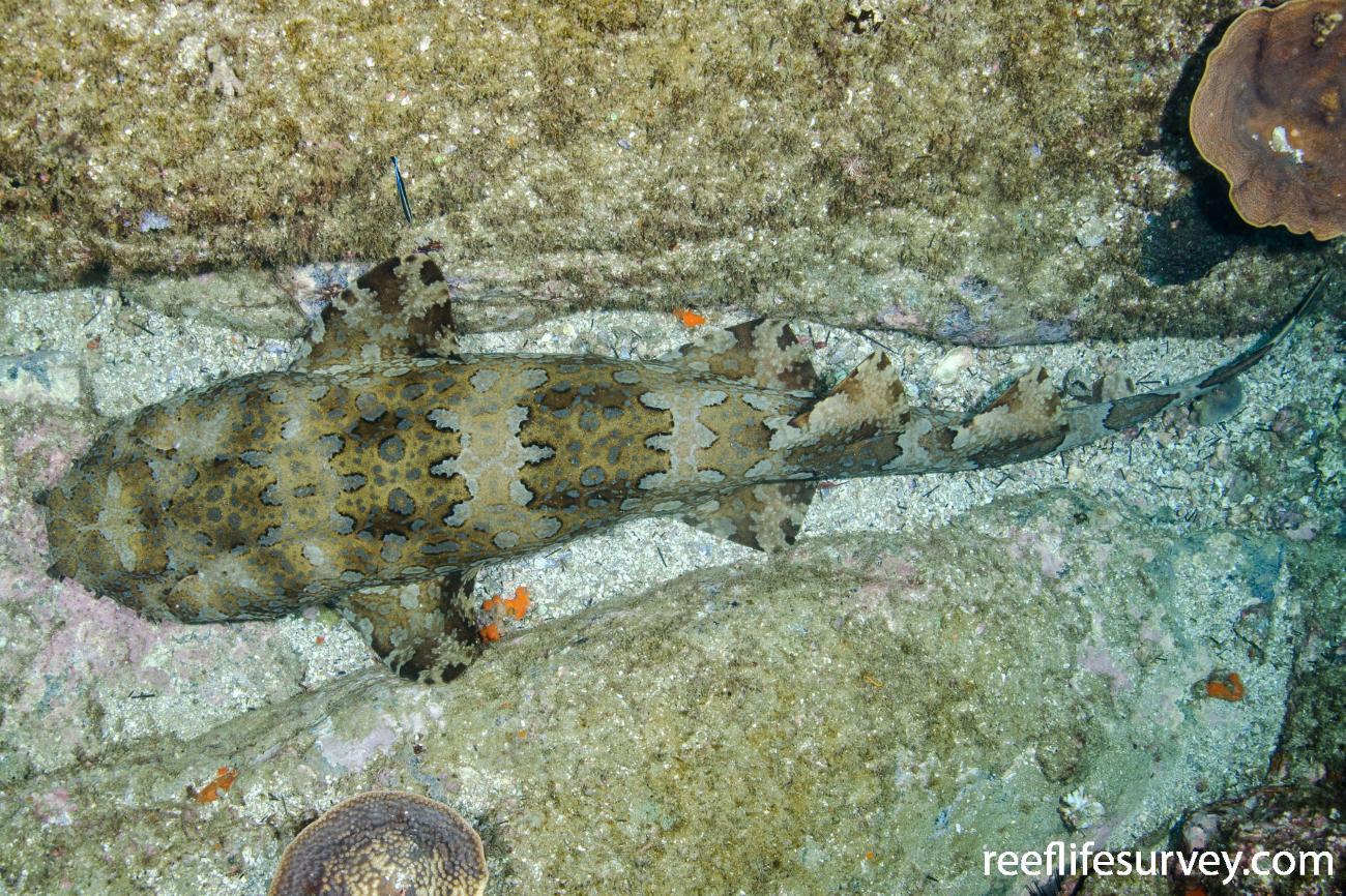 Orectolobus halei, Adult, Solitary Islands, NSW,  Photo: Ian Shaw
