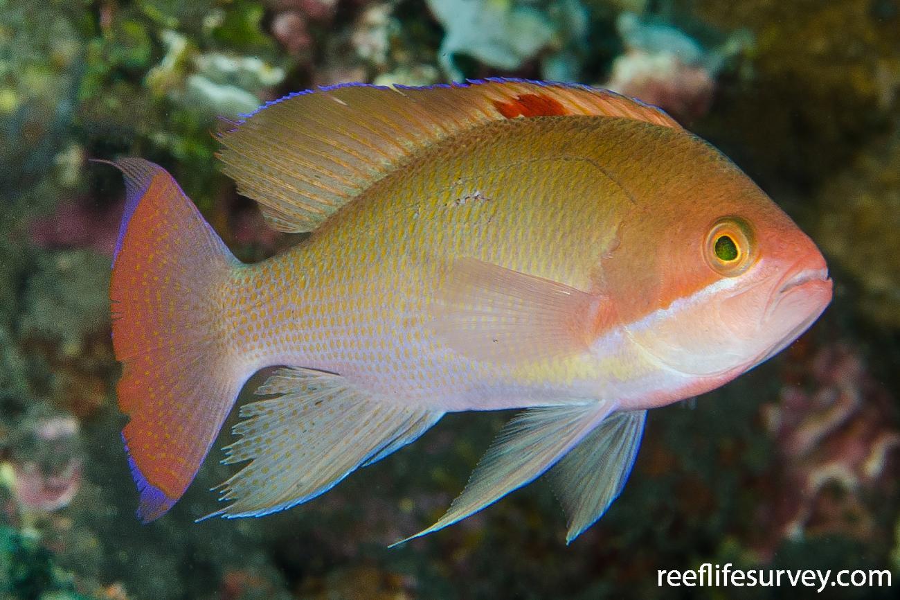 Pseudanthias hypselosoma, Male.  Photo: Ian Shaw