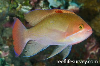Pseudanthias hypselosoma: Male.  Photo: Ian Shaw