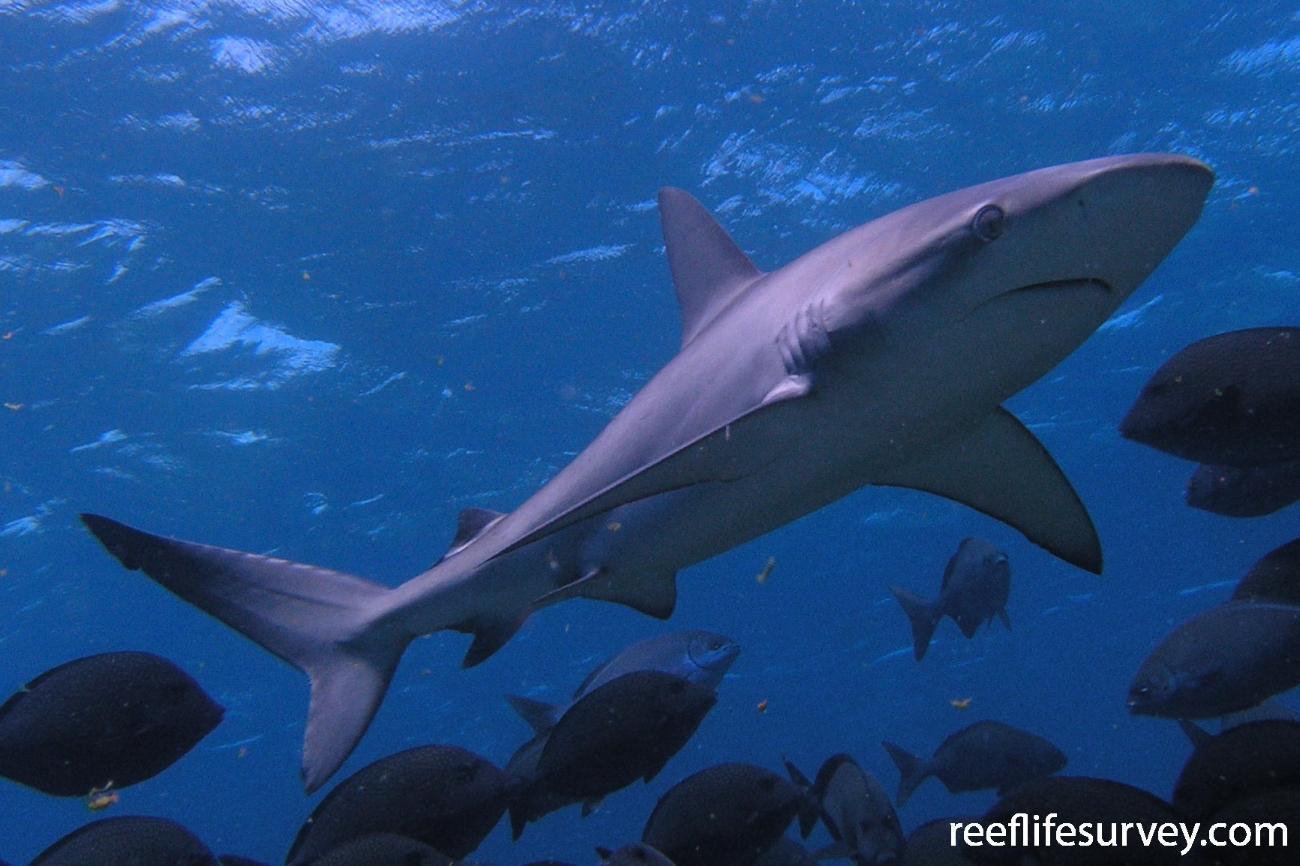 Carcharhinus galapagensis, Lord Howe Island, Australia,  Photo: Tom Davis