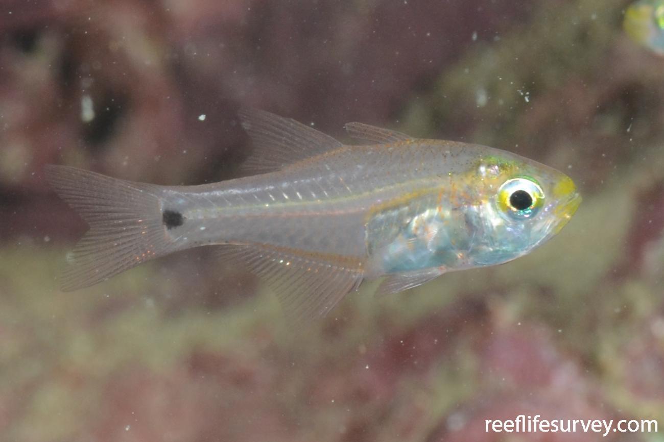 Zoramia fragilis, Gulf of Carpentaria, Australia,  Photo: Graham Edgar