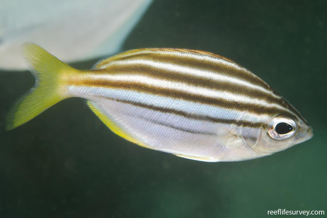 Atypichthys strigatus, Adult, Nambucca, NSW,  Photo: Ian Shaw