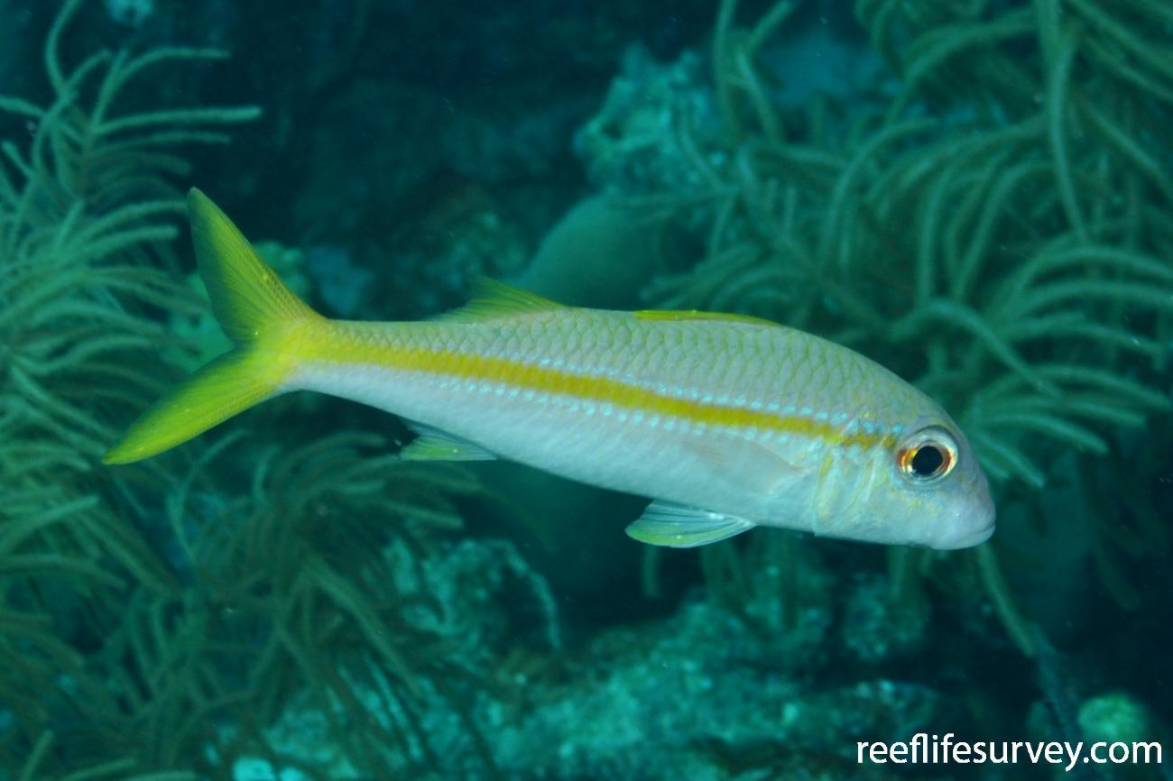 Mulloidichthys martinicus, Bonaire,  Photo: Rick Stuart-Smith