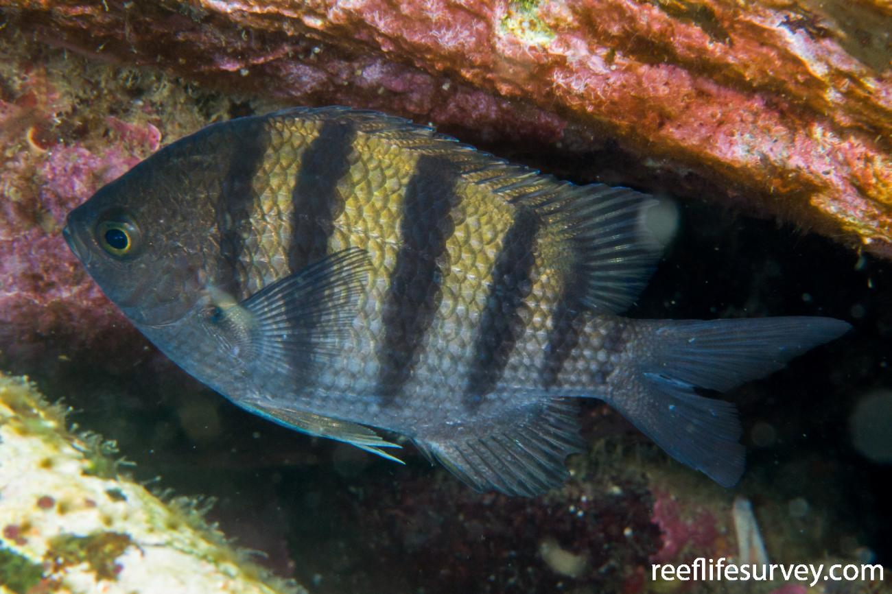 Abudefduf troschelii, Gulf of California, Mexico,  Photo: Rick Stuart-Smith