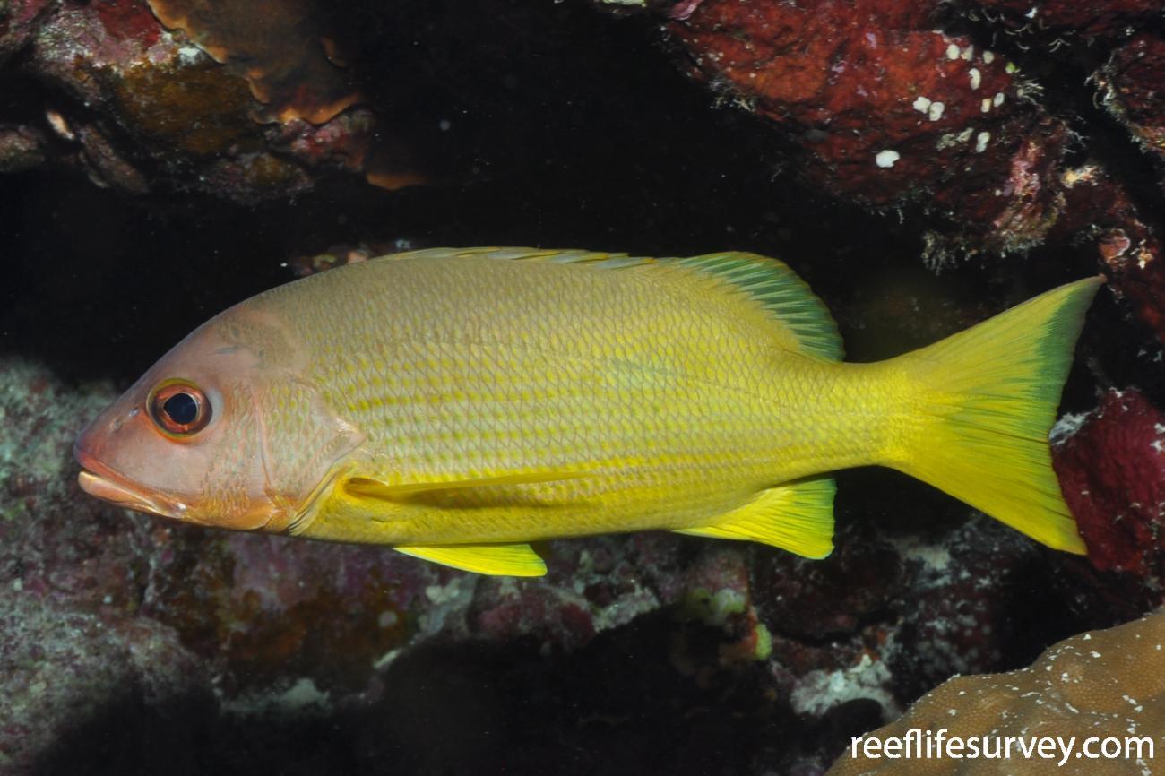 Lutjanus monostigma, Red Sea,  Photo: Rick Stuart-Smith