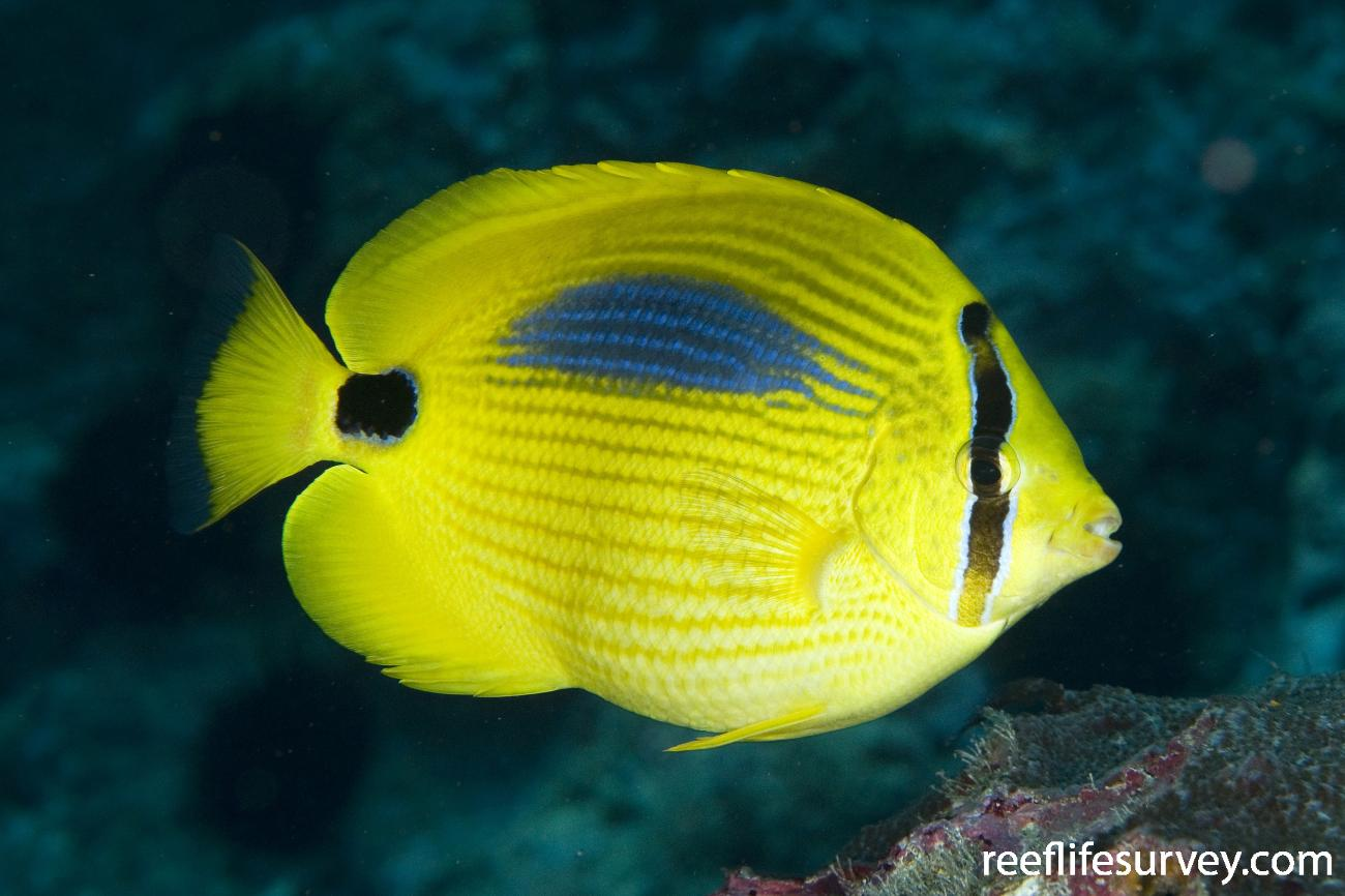 Chaetodon plebeius, Lord Howe Is, NSW,  Photo: Andrew Green
