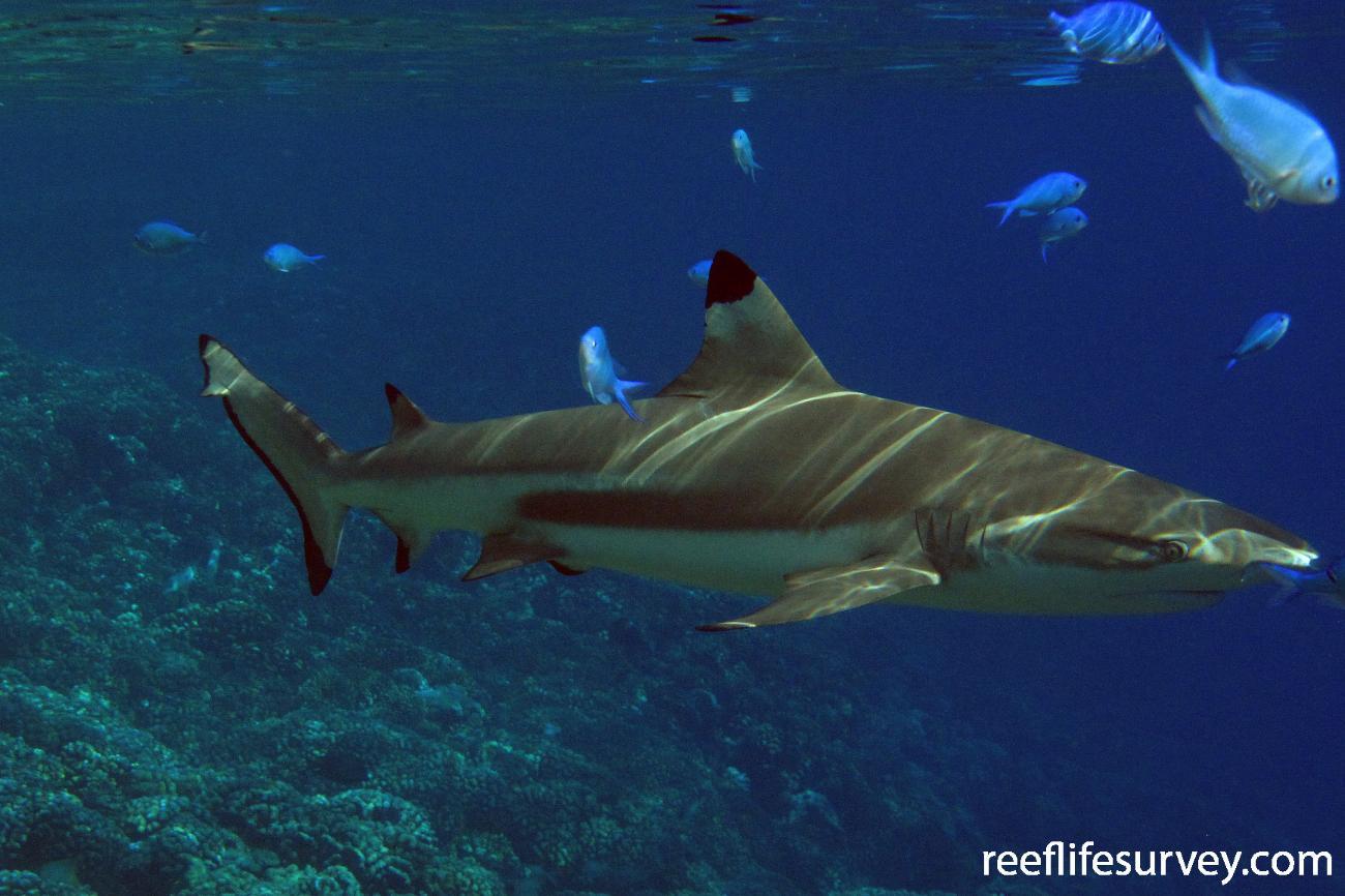 Carcharhinus melanopterus, Adult, Tuamotus,  Photo: Antonia Cooper