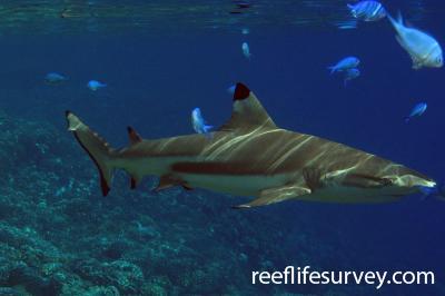 Carcharhinus melanopterus: Adult, Tuamotus,  Photo: Antonia Cooper