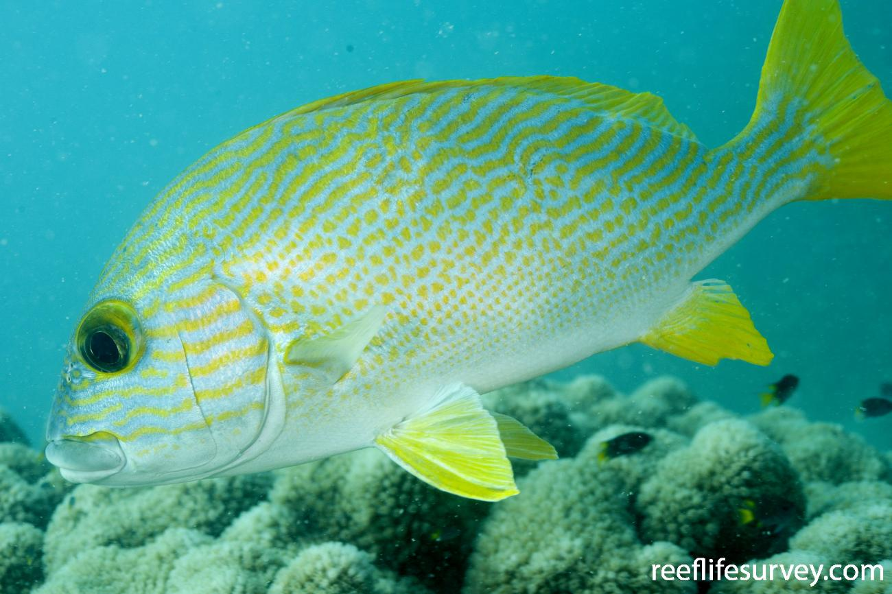 Plectorhinchus multivittatus, Adult, Torres Strait, QLD,  Photo: Andrew Green