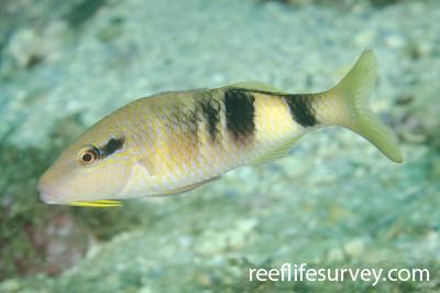 Parupeneus multifasciatus: Adult, NSW, Australia,  Photo: Ian Shaw