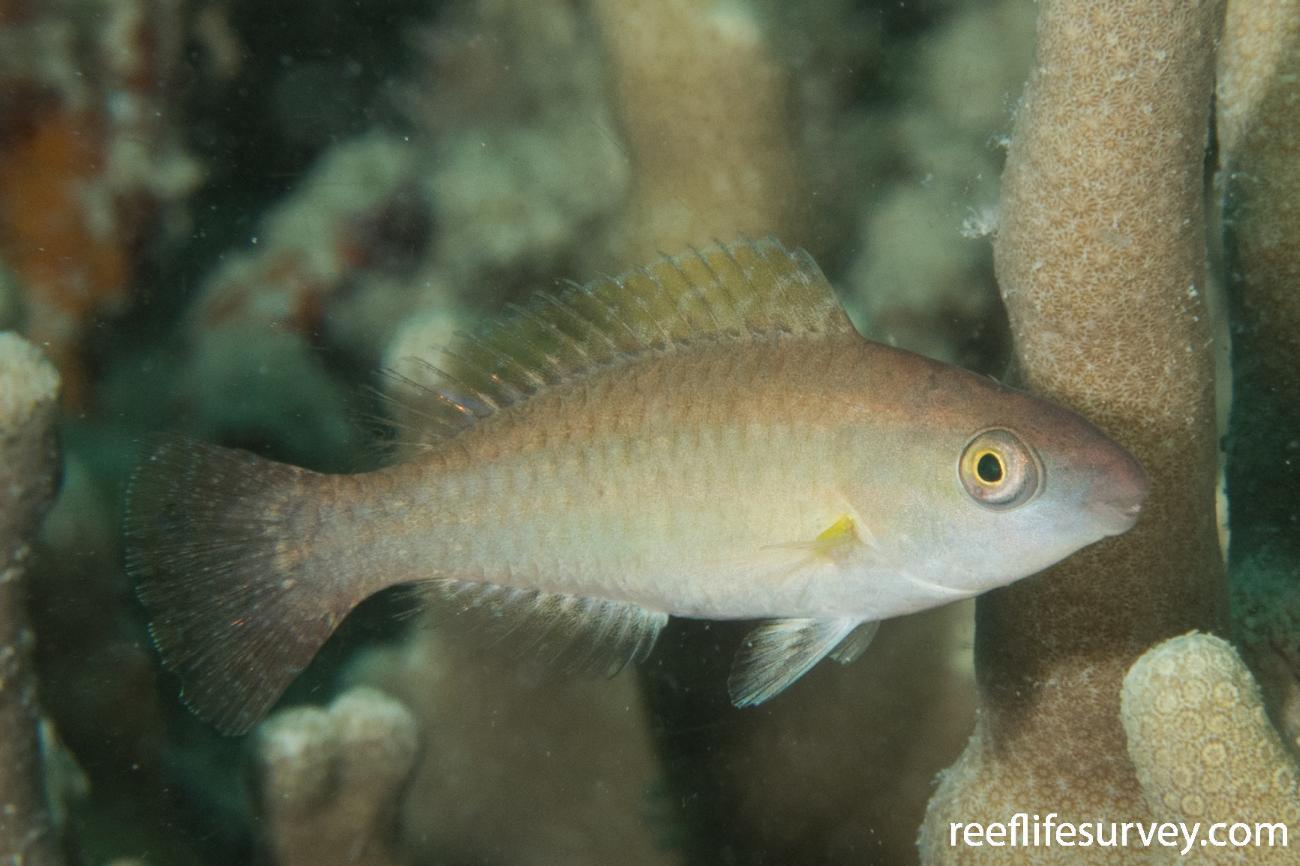 Scarus flavipectoralis, Juvenile, QLD, Australia,  Photo: Rick Stuart-Smith