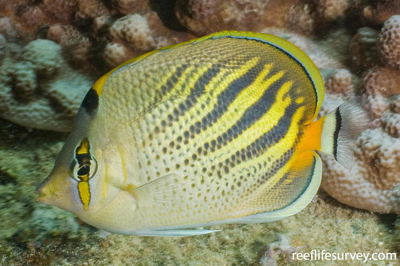 Chaetodon pelewensis, Lord Howe Is, NSW,  Photo: Andrew Green
