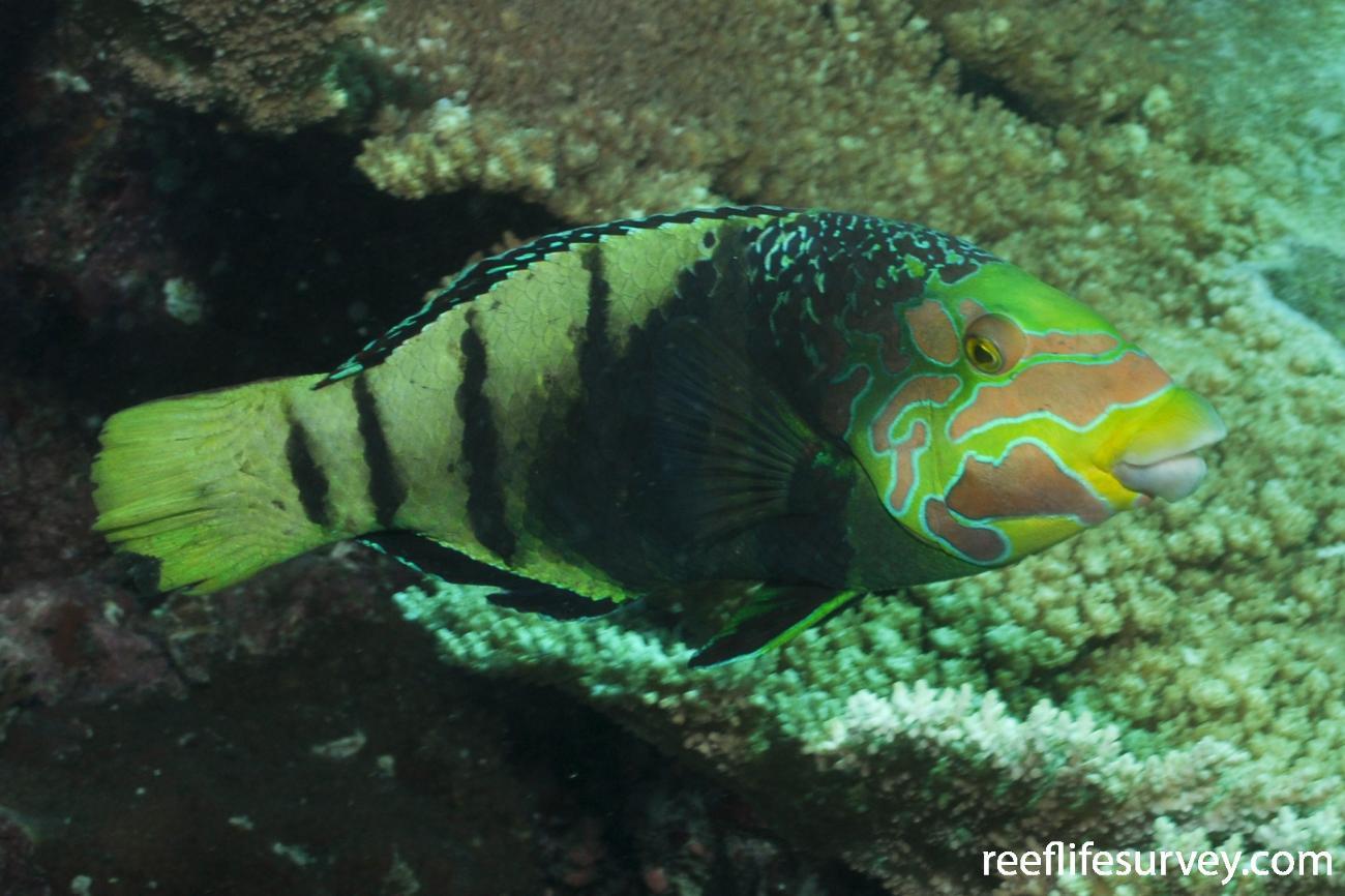 Hemigymnus fasciatus, Adult, Maldives,  Photo: Rick Stuart-Smith
