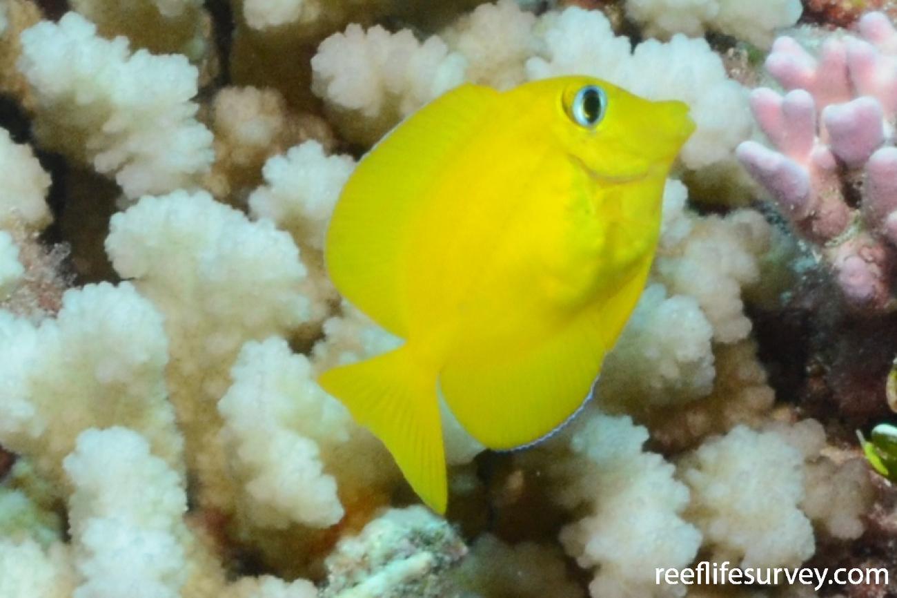 Ctenochaetus flavicauda, French Polynesia,  Photo: Graham Edgar